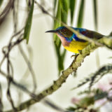 plain throated sunbird