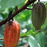 Cocoa pod on tree branch