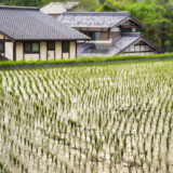 Rice field in Magome