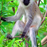 Vervet ape
