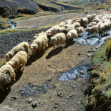 Sheep in the Andes