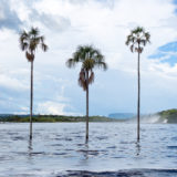Palm trees in Laguna de Canaima