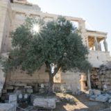 The Legendary Olive Tree of the Pandroseion